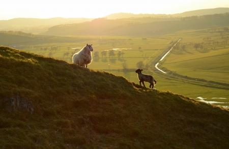 Sheep and Lamb At Dusk Stock Photo - 14202331