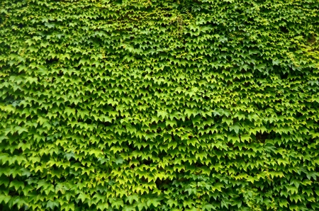 An Abstract Background Texture Of An Ivy Covered Wall photo