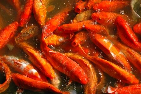 frenzy: Background Texture of Multiple Koi Fish  Cyprinus Carpio  Feeding Frenzy