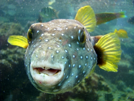pufferfish: A Close-up Of A Strange Looking Pufferfish In Hawaii