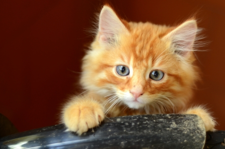 lovable: Cute Fluffy Ginger Kitten With Copy Space Stock Photo