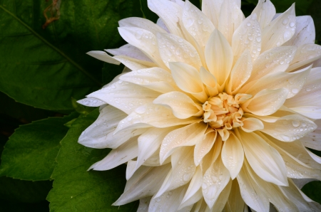 pureness: Close-up Of A Pure White Dahlia Flower With Rain Drops Stock Photo