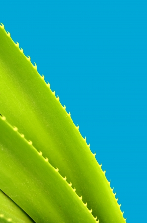 A Spiky Tropical Plant With Copy Space And Blue Background photo