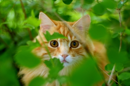 A Beautiful Ginger Cat Hiding In The Bushes photo