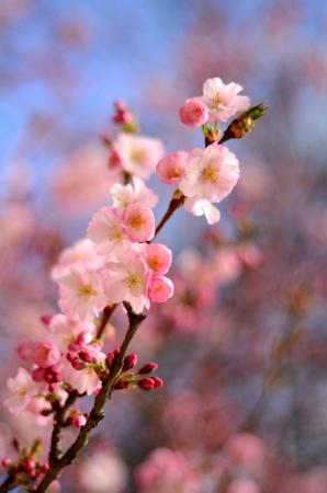 Spring Image Of Pink Blossom Flower With Shallow Depth Of Focus photo