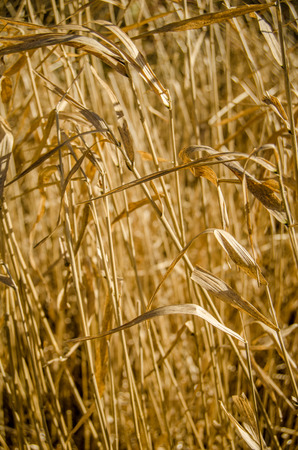 Nature Background Of Dry Golden Grass photo