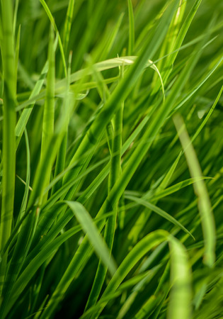 Abstract Background Texture Of Long Lush Grass photo