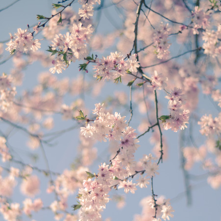 Pastel Retro Filter Pink Cherry Blossom Flowers For Spring (With Shallow DoF)
