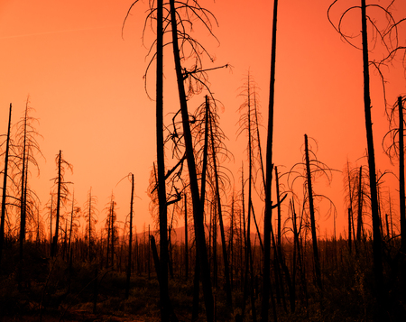 火の後の森林の焦げた木の赤い夕日