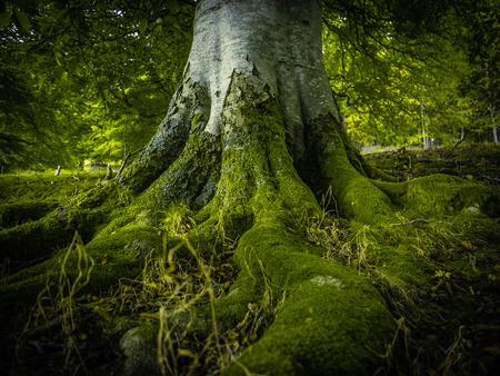 birretes: Las raíces de los árboles de un antiguo árbol de abedul en un bosque verde hermoso