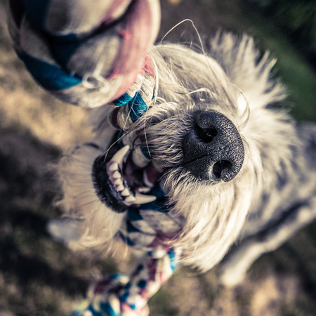 tugging: Closeup Of Teeth And Nose Of An Old English Sheepdog Playing Tug-Of-War Stock Photo