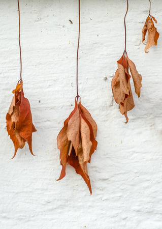 whitem: Conceptual Fall Image Of Dry And Withered Dead Leaves Hanging Against A White Wall Stock Photo