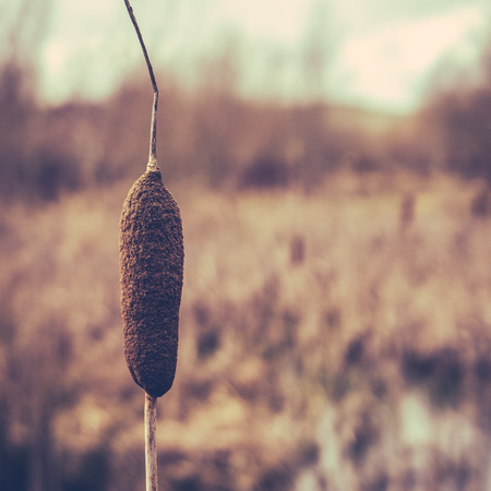bulrushes: Retro Style Winter Image Of A Single Bulrush Or Cattail In A Wetland With Copy Space