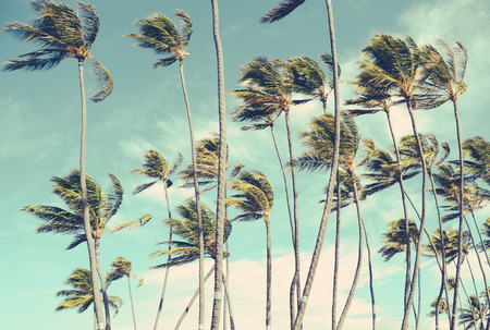 palm trees: Retro Vintage Style Washed-Out Photo Of Wind-Blown Palm Trees In Hawaii