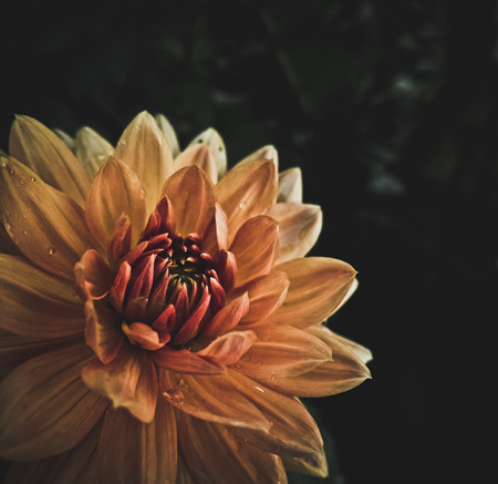 high contrast: High Contrast And Stylized Macro Image Of A Wet Blooming Orange Dahlia Flower With Copy Space