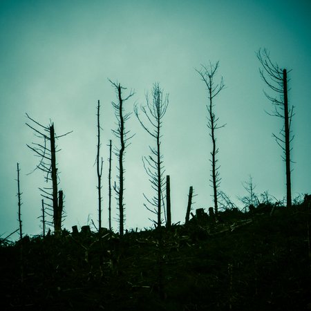 Detai Of Dead Trees In A Forest After The Devastation Of A Forest Fire