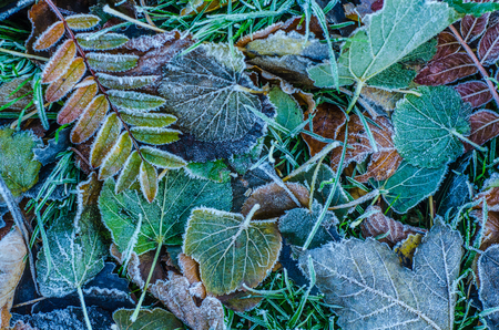 Seasonal Background Texture Of Frosty Leaves In Winter Stock Photo