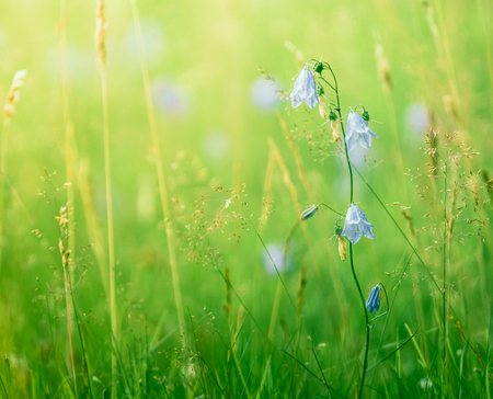 Retro Style Background Of Summer Flowers (BluebellsHarebells) In Long Meadow Grass Stock Photo