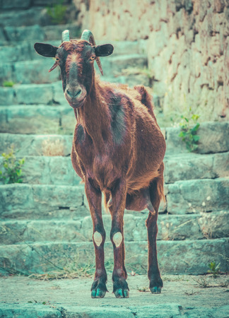 A Wild Mallorcan Goat Roaming Around A Small Island Town