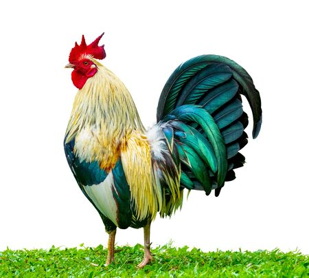 An Isolated Proud Rooster (Cockerel) Standing In The Grass Symbolising Pride And Masculinity Zdjęcie Seryjne