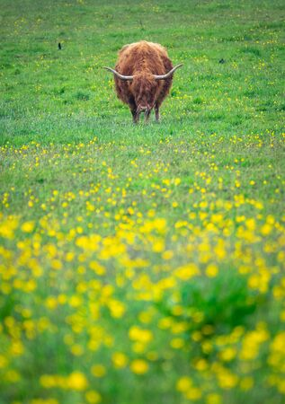 A Beautiful Highland Cow Grazing In A Meadow In Spring, WIth Copy Space