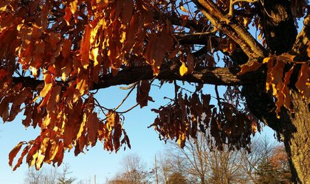 Tree at Patapsco Light Rail station (Baltimore,MD) with rust-colored leaves.  Clear, blue sky.  Sunny day.  Autumn leaves.