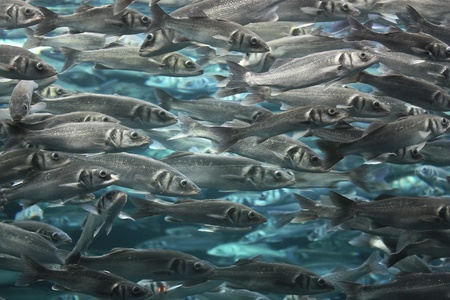 fresh water fish: Large school of fish close up