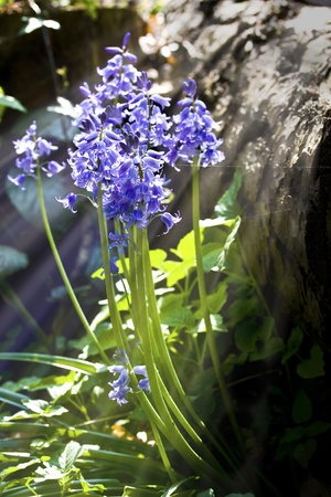 Bluebells close up with sunlight streaming through photo