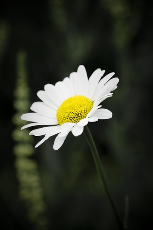washed out: Single wild daisy washed out Stock Photo