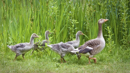 Mother goose leading goslings in the wild