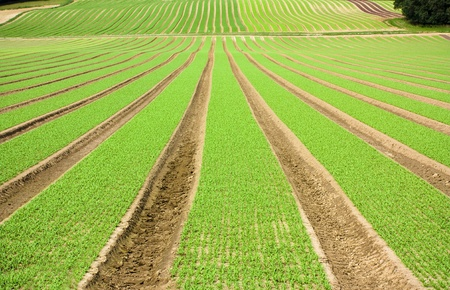 furrows: Farmland furrows with new planting in perspective Stock Photo