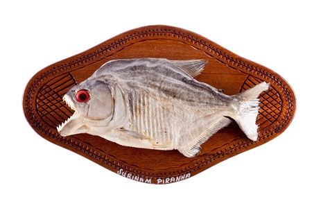 dried fish: Piranha fish as trophy on wood isolated