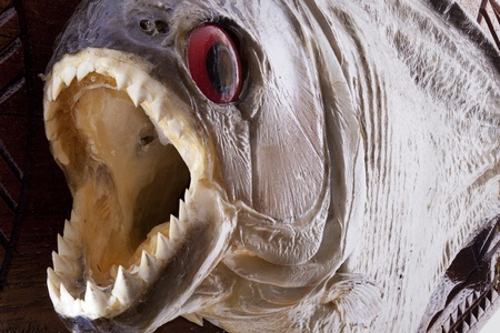 Piranha fish close up with open mouth