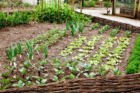 Very tidy vegetable patch Stock Photo