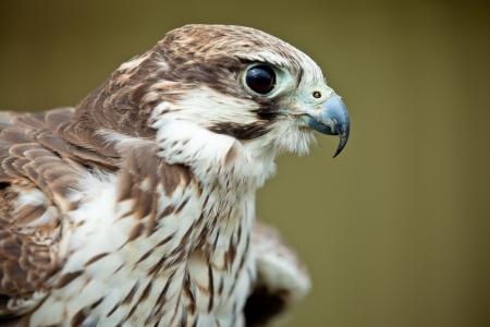 Bird of prey falcon close up photo