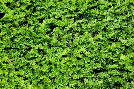 Yew bush close up background