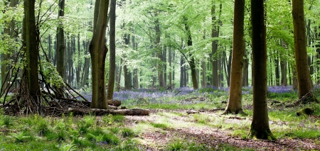 Woods with bluebells and morning light