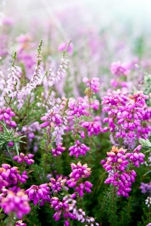 erica: Purple bell erica heather plants Stock Photo