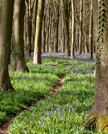 Bluebells in spring with woodland trail through the trees Stock Photo - 17627777