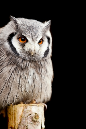 wise old owl: Southern White Faced Owl on a post Stock Photo