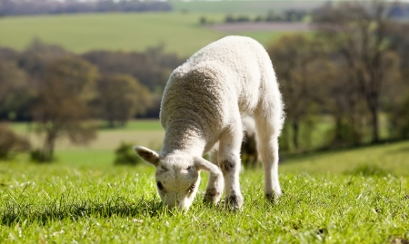 county side: Lamb in field eating grass in spring time with a county side view