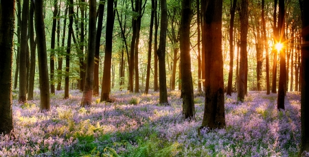 beautiful woodland: Bluebell woods in early morning sunrise