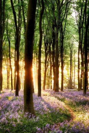 early summer: Bluebell sunrise in long tree shadows portrait view