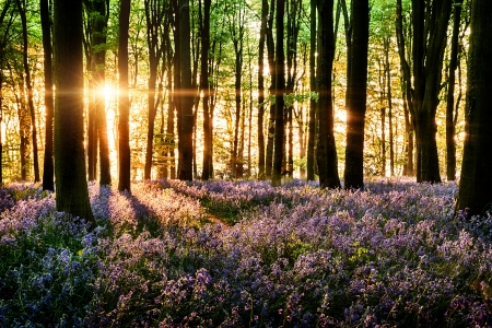 Bluebells blooming in the forest with  morning light