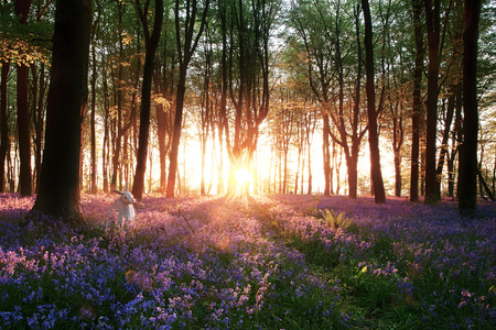 early morning: Stunning bluebell woods sunrise with white rabbit