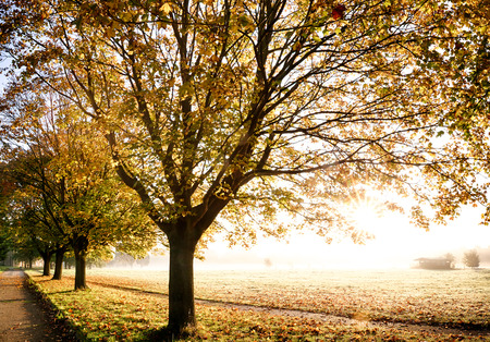 Canopies: Glorious autumn golden leaf trees with a misty morning sunlight. Footpath leading through the field.