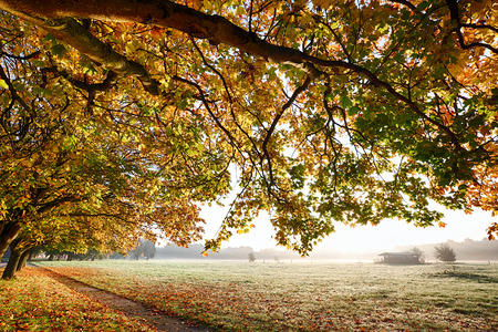footway: Autumn branches overhanging a carpet of golden leaves and a path leading through a misty field during sunrise