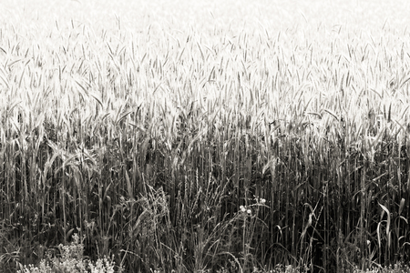 cultivo de trigo: Field of wheat crop in black and white