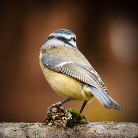 Wild blue tit bird portrait close up native to Europe perched on a log looking away from the camera. Beautiful wing tail feathers viewpoint