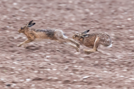 Running brown hares across a dirt field in Norfolk during mating season. Wild animals caught at speed during a chase